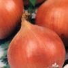 Cebolla de Bulbo Valenciana Tardía Semillera Guasch