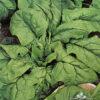 Espinaca Hibrida Híbrida Nº 7 Semillera Guasch